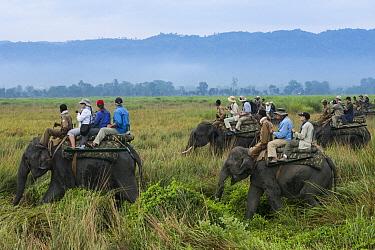 Asian Elephant (Elephas maximus) group carrying tourists, Kaziranga National Park, India