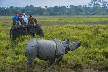 Asian Elephant (Elephas maximus) carrying tourists to observe Indian Rhinoceros (Rhinoceros unicornis), Kaziranga National Park, India