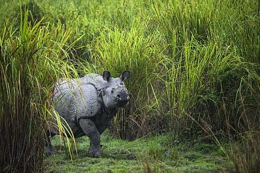 Indian Rhinoceros (Rhinoceros unicornis) in grassland, Kaziranga National Park, India