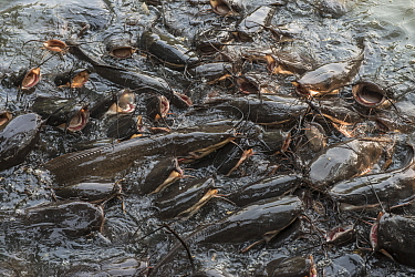 African Sharptooth Catfish (Clarias gariepinus) group feeding at water surface, Bharatpur National Park, India