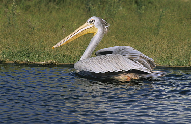 Pink-backed Pelican (Pelecanus rufescens) swimming, native to Africa