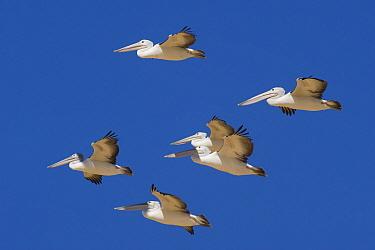 Australian Pelican (Pelecanus conspicillatus) group flying, Queensland, Australia