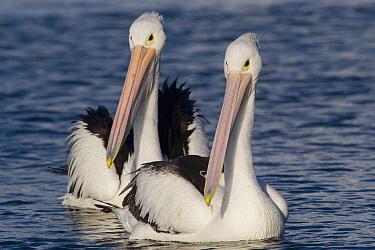 Australian Pelican (Pelecanus conspicillatus) pair, Australia