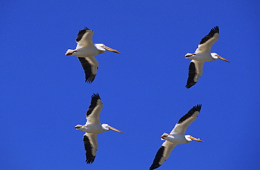 American White Pelican (Pelecanus erythrorhynchos) group flying, Canada