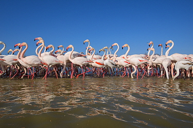 Greater Flamingo (Phoenicopterus ruber) flock wading, France