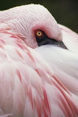 Lesser Flamingo (Phoenicopterus minor) resting, Namibia