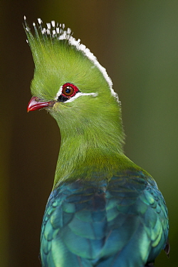 Guinea Turaco (Tauraco persa), Jurong Bird Park, Singapore