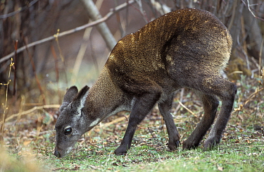 Alpine Musk Deer (Moschus chrysogaster) grazing, native to Bhutan