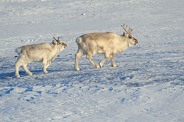 Svalbard Reindeer (Rangifer tarandus platyrhynchus) pair, Spitsbergen, Svalbard, Norway