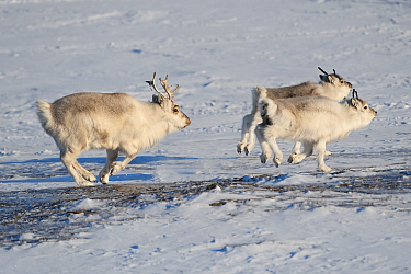Svalbard Reindeer (Rangifer tarandus platyrhynchus) male and females running, Spitsbergen, Svalbard, Norway