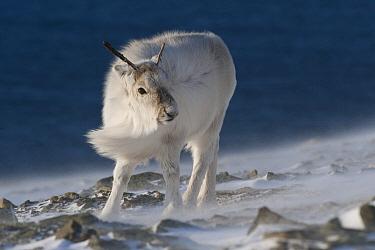 Svalbard Reindeer (Rangifer tarandus platyrhynchus) female in wind, Spitsbergen, Svalbard, Norway
