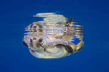 Loggerhead Sea Turtle (Caretta caretta) at water surface, California