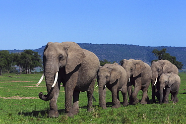 African Elephant (Loxodonta africana) herd walking through grassland, Masai Mara, Kenya