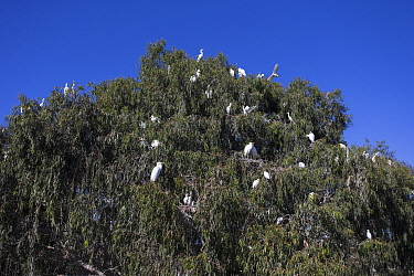 Great Egret (Ardea alba), Snowy Egret (Egretta thula), and Cattle Egret (Bubulcus ibis) rookery being observed by elementary students, Ninth Street Rookery, Santa Rosa, California