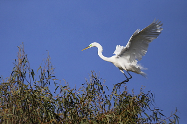 Great Egret (Ardea alba) landing at rookery, Ninth Street Rookery, Santa Rosa, California