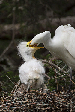 Great Egret (Ardea alba) parent feeding three week old chick in nest, Sonoma County, California