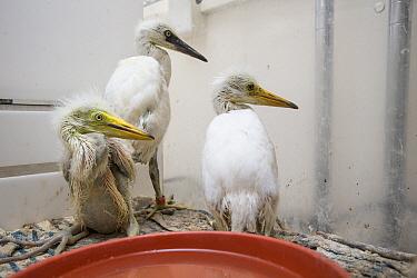 Great Egret (Ardea alba) one week old chick in incubator with two Snowy Egret (Egretta thula) chicks, International Bird Rescue, Fairfield, California