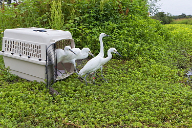 Snowy Egret (Egretta thula) sub-adults leaving carrier during release, The Bird Rescue Center, Santa Rosa, California