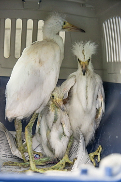 Snowy Egret (Egretta thula) fledglings rescued from road, Ninth Street Rookery, Santa Rosa, California