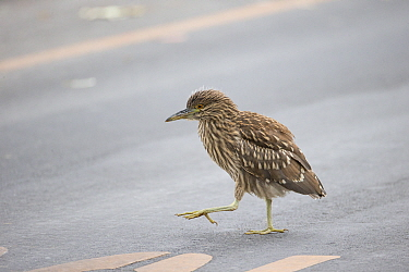 Black-crowned Night Heron (Nycticorax nycticorax) fledgling crossing road, Ninth Street Rookery, Santa Rosa, California