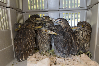 Black-crowned Night Heron (Nycticorax nycticorax) three week old chicks in carrier, International Bird Rescue, Fairfield, California