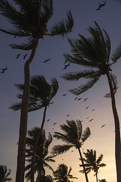 Magnificent Frigatebird (Fregata magnificens) group flying over palm trees, Lighthouse Reef, Belize  -  Pete Oxford