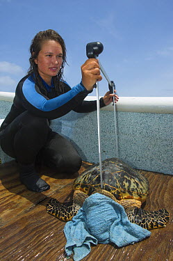 Hawksbill Sea Turtle (Eretmochelys imbricata) being measured by scientist, Lighthouse Reef, Belize  -  Pete Oxford