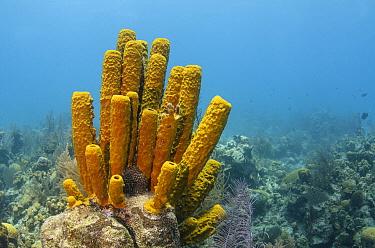 Yellow Tube Sponge (Aplysina fistularis), Lighthouse Reef, Belize  -  Pete Oxford