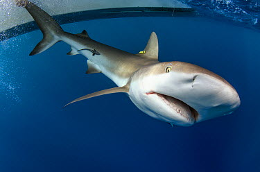 Caribbean Reef Shark (Carcharhinus perezii) with tag next to research boat, Lighthouse Reef, Belize  -  Pete Oxford