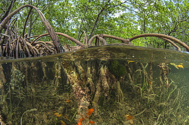 Sponge (Diplastrella sp) on Red Mangrove (Rhizophora mangle) aerial roots, Lighthouse Reef, Belize  -  Pete Oxford