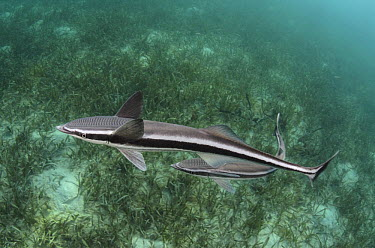 Live Sharksucker (Echeneis naucrates) pair, Lighthouse Reef, Belize  -  Pete Oxford