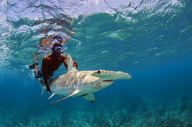 Great Hammerhead Shark (Sphyrna mokarran) exhausted animals aided by scientist after data collection, Lighthouse Reef, Belize  -  Pete Oxford