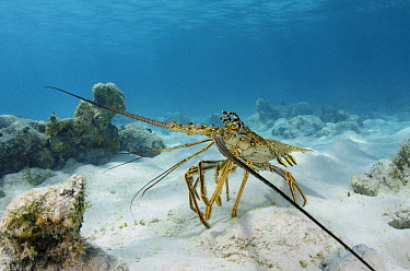 Caribbean Spiny Lobster (Panulirus argus), Lighthouse Reef, Belize  -  Pete Oxford