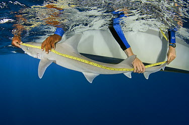 Dusky Smooth-hound (Mustelus canis) being measured by scientists, Lighthouse Reef, Belize  -  Pete Oxford