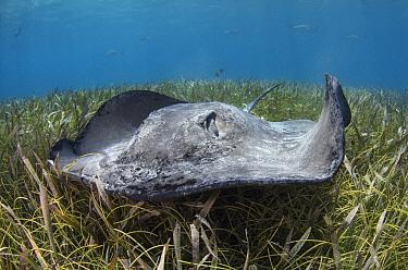 Chupare Stingray (Himantura schmardae), Hol Chan Marine Reserve, Belize  -  Pete Oxford