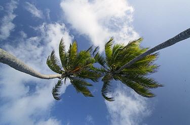 Coconut Palm (Cocos nucifera) trees, Ambergris Caye, Belize  -  Pete Oxford