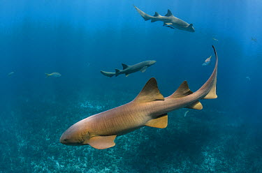 Short-tail Nurse Shark (Ginglymostoma cirratum) trio, Hol Chan Marine Reserve, Belize  -  Pete Oxford