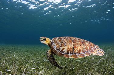 Green Sea Turtle (Chelonia mydas), Hol Chan Marine Reserve, Belize  -  Pete Oxford