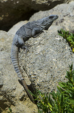 Black Spiny-tailed Iguana (Ctenosaura similis) sunning on rock, Banco Chinchorro, Yucatan Peninsula, Mexico  -  Pete Oxford