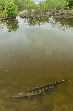 American Crocodile (Crocodylus acutus) in wetland, Banco Chinchorro, Yucatan Peninsula, Mexico  -  Pete Oxford