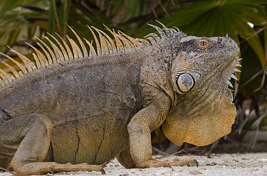 Green Iguana (Iguana iguana) male showing large dewlap, Banco Chinchorro, Yucatan Peninsula, Mexico  -  Pete Oxford