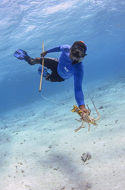 Caribbean Spiny Lobster (Panulirus argus) being caught with noose, Banco Chinchorro, Yucatan Peninsula, Mexico  -  Pete Oxford