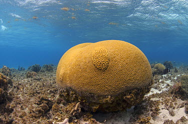 Brain Coral (Diploria labyrinthiformis), Banco Chinchorro, Yucatan Peninsula, Mexico  -  Pete Oxford