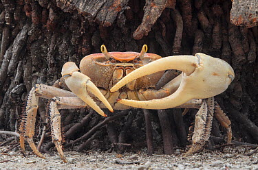 Blue Land Crab (Cardisoma guanhumi) male, Banco Chinchorro, Yucatan Peninsula, Mexico  -  Pete Oxford