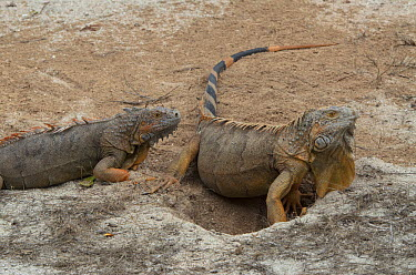 Green Iguana (Iguana iguana) female and male, Banco Chinchorro, Yucatan Peninsula, Mexico  -  Pete Oxford