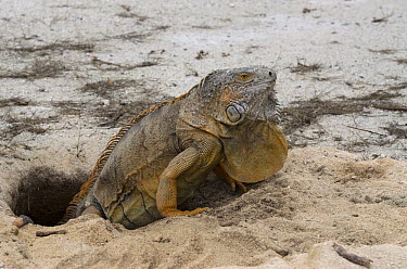Green Iguana (Iguana iguana) female in nest burrow, Banco Chinchorro, Yucatan Peninsula, Mexico  -  Pete Oxford