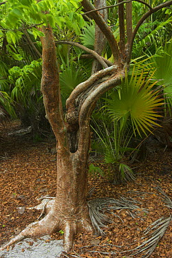 Gumbo Limbo (Bursera simaruba) tree, Banco Chinchorro, Yucatan Peninsula, Mexico  -  Pete Oxford