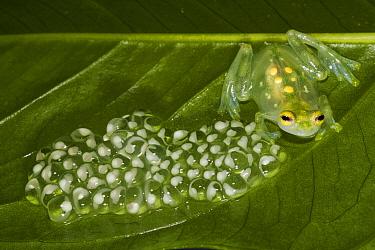 Glass Frog (Hyalinobatrachium aureoguttatum) and eggs, native to South America