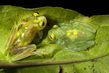 Glass Frog (Hyalinobatrachium aureoguttatum) pair, native to South America