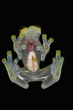Glass Frog (Hyalinobatrachium aureoguttatum) underside showing internal organs, native to South America
